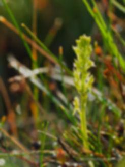 BOG ORCHID (Hammarbya paludosa)