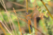 FOUR  SPOTTED  CHASER  (LIBELLULA  QUADRIMACULATA)