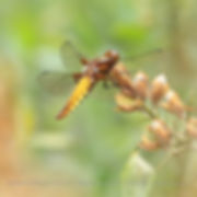 BROAD  BODIED  CHASER   (libellula depressa )