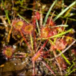 ROUND LEAVED SUNDEW (Drosera rotundifolia)