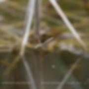 DOWNY EMERALD   (Cordulia Anea)