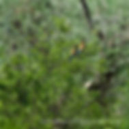 BEE EATER  (Merops apiaster)