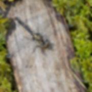 WHITE FACED DARTER  (Leucorrhinia dubia)