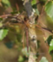 BROWN HAWKER  (Aeshna Grandis)