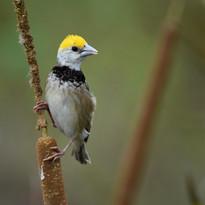 weaver bird young.jpg