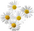 daisy_edited.png