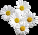 daisy_edited_edited.png
