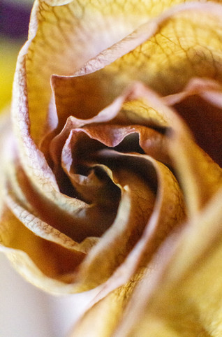 Dried Rose.jpg