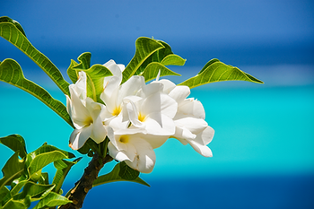 Huahine, Polinesia Francesa; flor de tipanie.