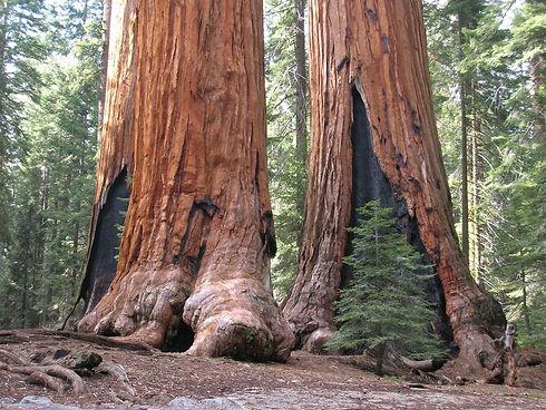 redwood-tree_t20_koA97r.jpg