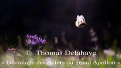 Décollage des Asters du grand Apollon de Thomas Delahaye