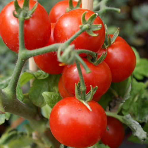 Sugar Rush Tomato