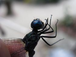 male dragon fly