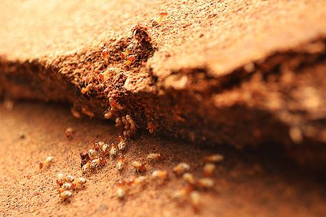 Termite Infestation San Diego