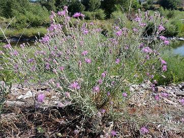 spotted_knapweed_Centaurea_stoebe_whole_