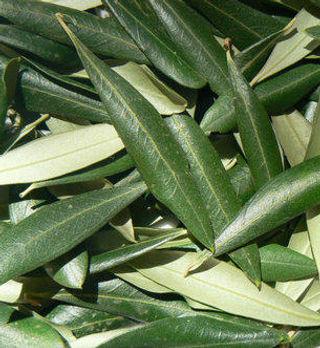 fresh-olive-leaf-500x500.jpg
