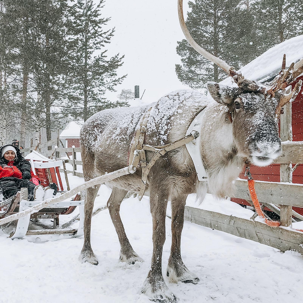 balade en traineaux de rennes sous la neige, reindeer sleigh