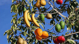 Scientists Create First Fruit Salad Tree
