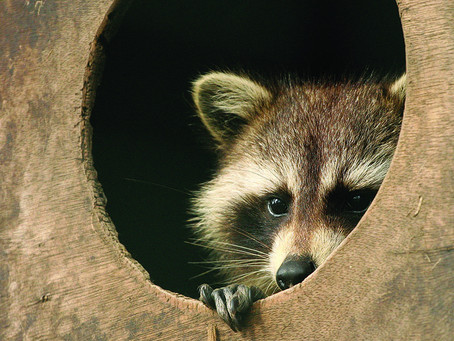 Unwanted Residents? Get rid of Raccoons today!
