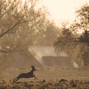 roe deer sunrise