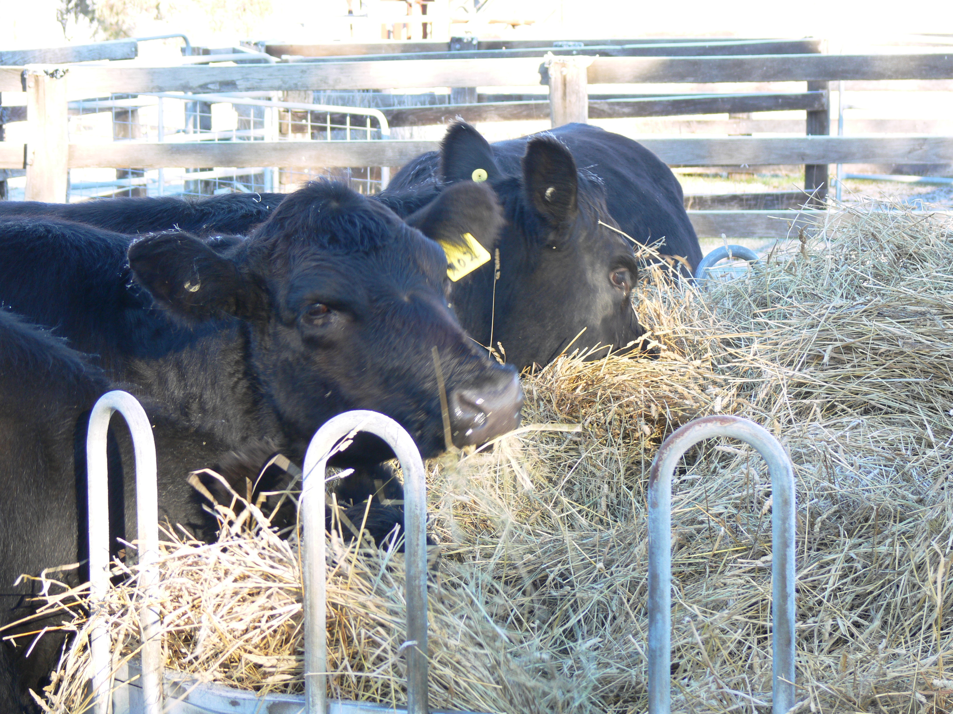 22 Cattle in yards