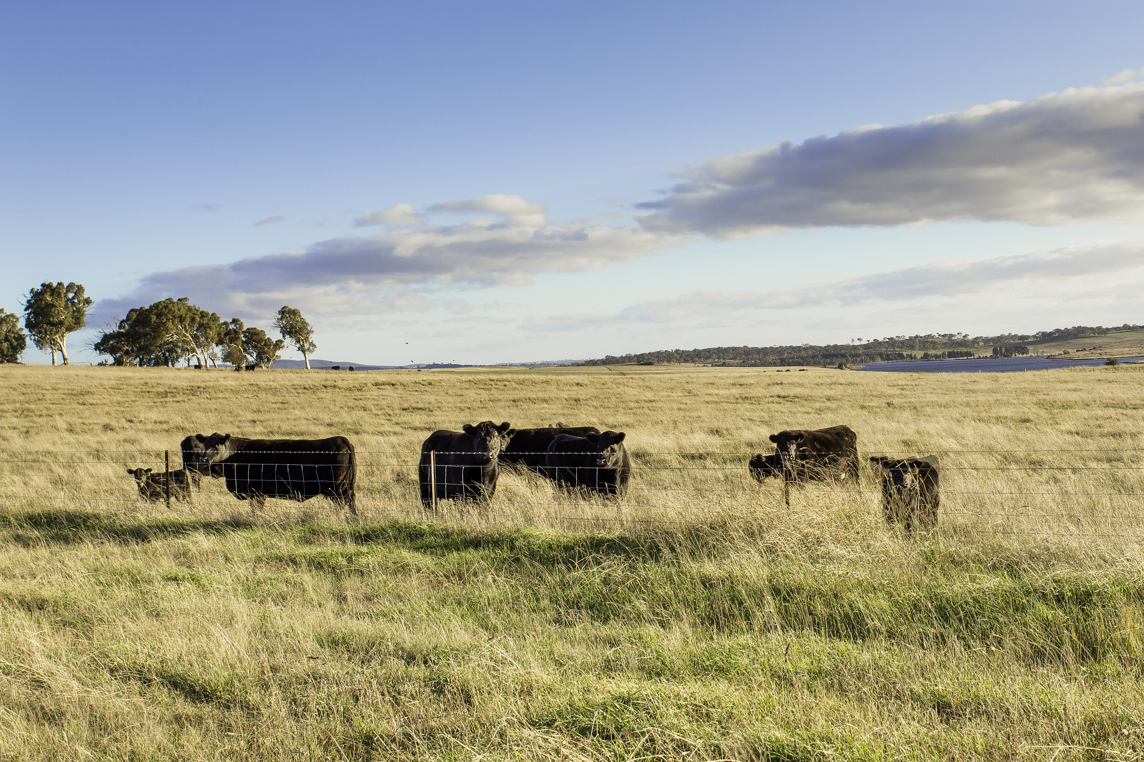 20 Cattle and pastures