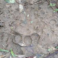 Sumatran Tiger footprint