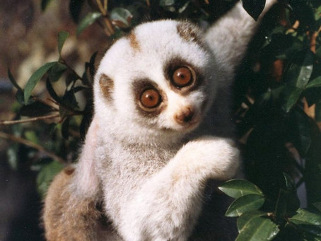 The Slow Loris - Remarkable Yet Unknown Species of India.
