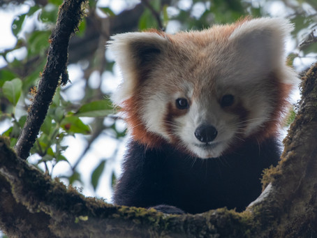 Red Panda - A Remarkable Yet Unknown Species of India