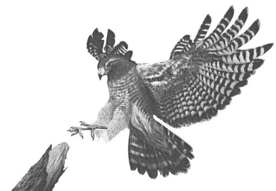 """Cooper's Hawk"""