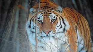 THE AMUR TIGER (2015)