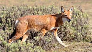 MEGETI - AFRICAS LOST WOLF (2017)