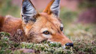 MEGETI - AFRICAS LOST WOLF
