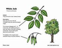 Whiteash Identify.jpg