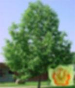 tuliptree2.jpg