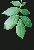 119.1.Carya_tomentosa_leaf.jpg