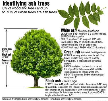 Ash-trees-EAB.jpg