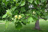 Tulip-poplar-tree-pictures.jpg