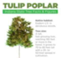 Tulip-Poplar-Indiana-State-Tree-Facts-an