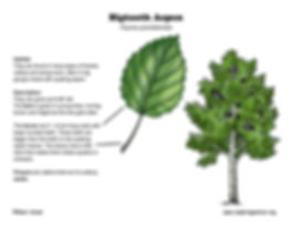 aspen_bigtooth_diagram_72.jpg