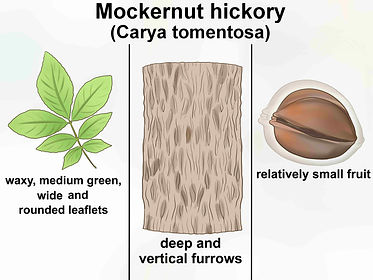 Identify-Hickory-Trees-Step-13-Version-3