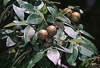Mockernut - photo 6.jpg