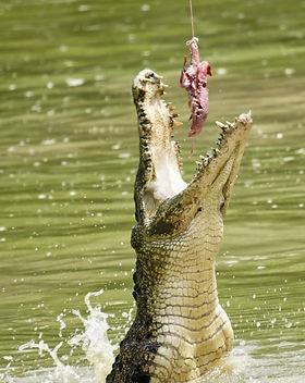Jong-Crocodile1-500x500.jpg