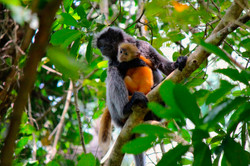 Silver Leaf Monkey With Baby
