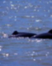 sarawak-santubong-irrawaddy-dolphin-02.j