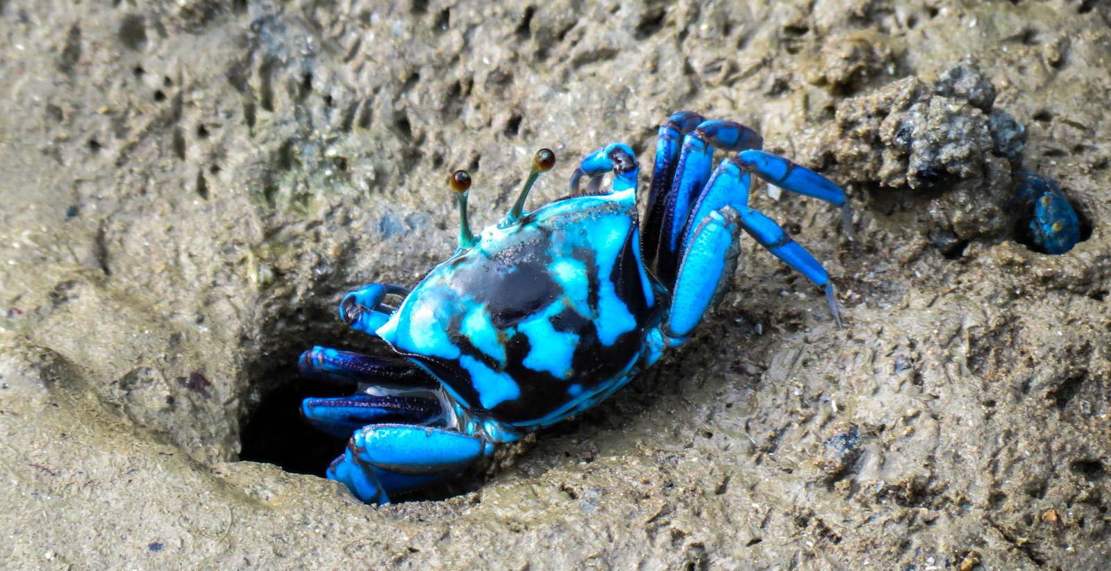 Blue Fiddler crab