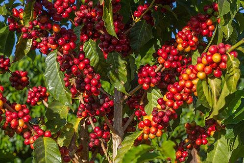 Brazil Cerrado Natural Red Catuai - Direct Trade - Per Kg
