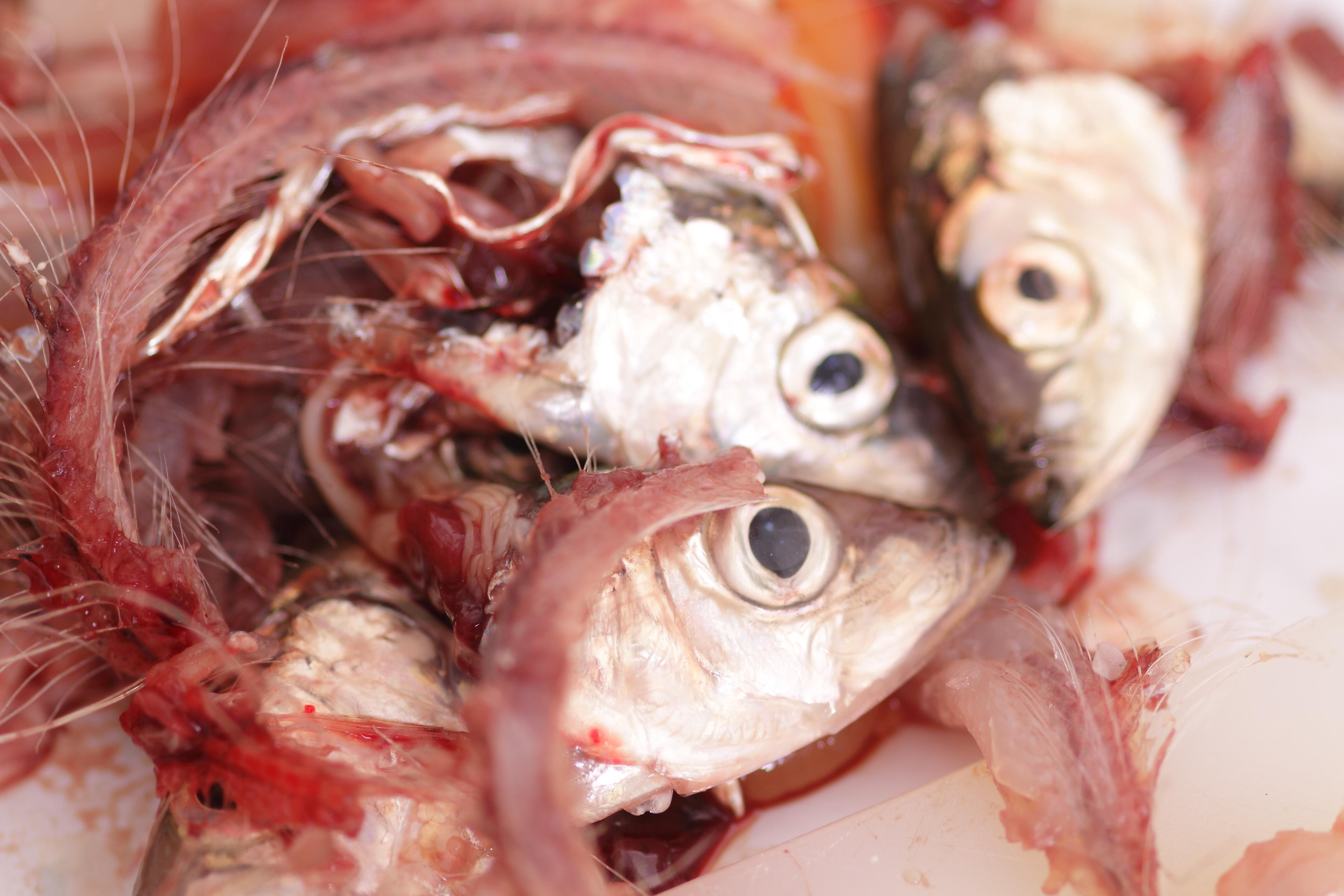 Making Baltic herring 1.0