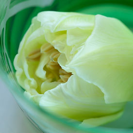 Tulipe dolcia