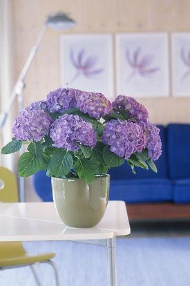 blue hortensia.jpg